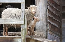 Ewe and Lamb near an Old Wood Barn. A big wooly Ewe and her baby lamb coming out of an old wooden barn in the Hudson Valley of New York Royalty Free Stock Photo