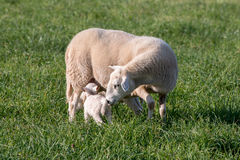 Ewe and lamb. Ewe nursing her lamb in a grassy field Stock Photos