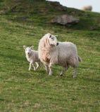 Ewe & Lamb (Ovis aries) Royalty Free Stock Photo