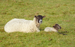 Ewe and lamb resting in field. Landscape image of a ewe with her newborn lamb. Both sitting on grass. Ewe looking at camera Stock Photos