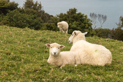 Ewe with lamb resting on grass Royalty Free Stock Photography