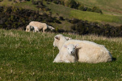 Ewe with lamb resting on meadow Royalty Free Stock Photography