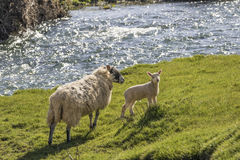 Ewe and lamb on a river bank Royalty Free Stock Photo