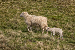 Ewe and Lamb, Shropshire, England. A ewe with her lamb making their way up a steep Shropshire hillside Stock Images