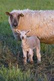 Ewe and Lamb Stock Photos