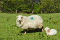 Ewe and Lamb. Welsh mountain sheep ewe and her resting lamb in a sunny pasture in rural Wales Royalty Free Stock Photography