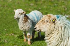 Ewe and Lamb. Welsh mountain sheep ewe keeps a watchful guard over her lamb on a rugged mountain pasture in rural Wales Stock Image