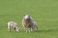 Ewe with lambs Stock Image
