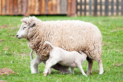 Ewe and Lambs. Picture of ewe and two toy-like lambs on the farm stock image