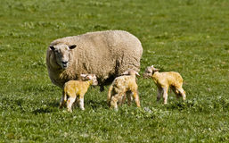 Ewe and lambs royalty free stock image