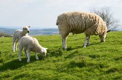 Ewe with lambs. A ewe and her baby lambs enjoying the spring sun and freedom in north England. Photo taken April 2015 Stock Photography
