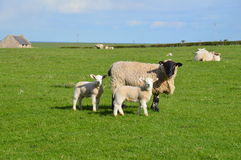 Ewe and lambs. Lambing season captured through this ewe and its lambs. Photo taken April 2015 Stock Photo