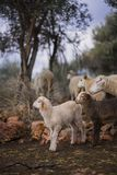 Sheep and Lambs. Born in winter. Ewe with lambs from a sheep flock in Turkey in olive grove landscape royalty free stock images