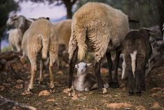 Sheep and Lambs. Born in winter. Ewe with lambs from a sheep flock in Turkey in olive grove landscape stock photo