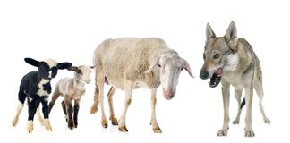 Ewe, lambs and wolf. Adult ewe, lambs and wolf in front of white background Stock Image