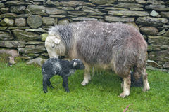 Ewe and new-born lamb, Coniston Royalty Free Stock Images