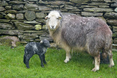 Ewe and new-born lamb, Coniston Stock Photos