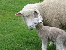 Ewe and newborn Lamb. A protective mother checks her newborn,auckland,new zealand Royalty Free Stock Image