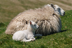Ewe with newborn lamb Stock Image