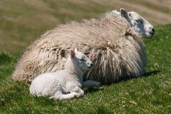 Ewe with newborn lamb Stock Image