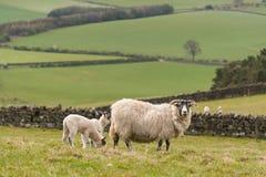 Ewe with newborn lambs Royalty Free Stock Photo
