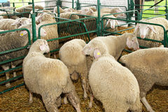 Ewe in pen. Sheep and ewe in pen at farm stock images