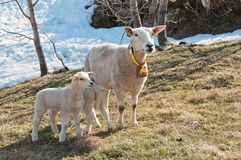 The ewe with a posterity. The ewe with her baby lambs standing on the field stock images