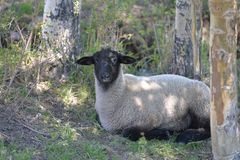 Ewe in shade of tree. Royalty Free Stock Photo