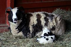 Ewe sheep with baby lamb. Mother ewe sheep in straw covered stall lying on ground with feeding baby lamb stock photos