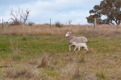 Ewe sheep with baby lamb on a paddock. Farm animals background. Scene royalty free stock photos