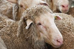 Ewe Sheep. Close up portrait of merino ewe with other sheep in the background; merino ewes are prized for their super fine wool Royalty Free Stock Photos