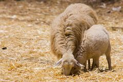 Ewe sheep and lamb Stock Photos