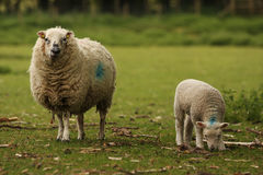 Ewe Sheep and Lamb. A mother ewe sheep and her lamb in a field Stock Images