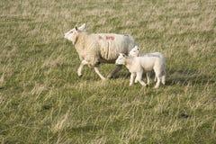 Ewe sheep and lambs Royalty Free Stock Photography