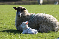 Ewe sheep with lamp. Ewe sheep lying in field with newborn lamb on green field Royalty Free Stock Photography