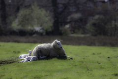 Ewe sheep lying down with spring lambs Royalty Free Stock Image