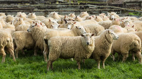 Ewe Sheeps Stock Image