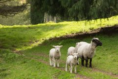 Family of sheep on a farm. A ewe and three lambs. A ewe and spring lambs in a paddock in New Zealand. The mother has a black face and legs, her lambs are pure royalty free stock image
