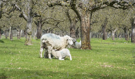Ewe With Suckling Lambs Stock Photography