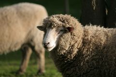 Ewe at sundown. A sheep late in the afternoon, sunning itself a little royalty free stock image