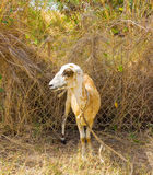 A ewe tethered in the dry season on bequia Royalty Free Stock Photos