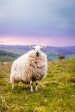 A Ewe on top of a hill in Wales Stock Photos