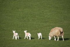 Ewe and triplets in a field stock photography