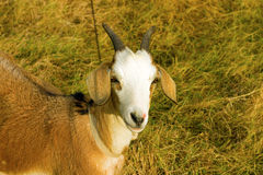 A ewe in a tropical meadow Royalty Free Stock Image