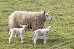 Ewe and twin lambs Royalty Free Stock Photos
