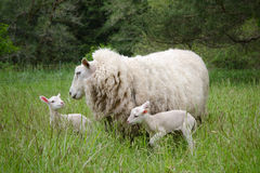 Ewe with twin lambs. Mother sheep with her two day-old babies in a spring field Stock Images