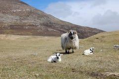 Ewe with twin lambs. Royalty Free Stock Photos