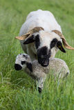 Ewe With Two Day Old Lamb Royalty Free Stock Images