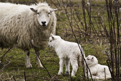 Ewe with two lambs. Detail of a white ewe with her family of two young lambs Royalty Free Stock Photo