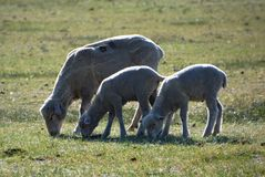 Ewe and Two Lambs, Carson City, Nevada Stock Images